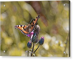 Butterfly On Tistle Sep Acrylic Print by Leif Sohlman