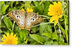 Butterfly On Yellow Flower Acrylic Print