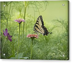 Butterfly Passion Acrylic Print by Cris Hayes