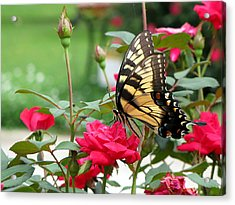 Acrylic Print featuring the photograph Butterfly Rose by Greg Simmons