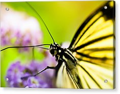 Butterfly Acrylic Print by Sebastian Musial