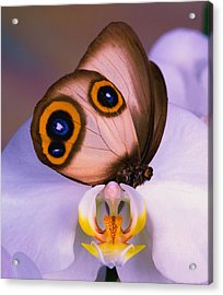 Butterfly Silky Owl  Taenaris Catops Acrylic Print by Leslie Crotty