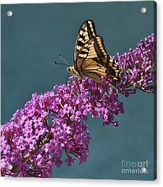 Butterfly Acrylic Print by Simona Ghidini