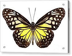 Butterfly Species Parantica Aspasia Common Name Yellow Glassy Ti Acrylic Print by Pablo Romero