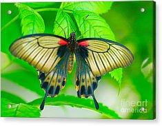 Butterfly Study #0064 Acrylic Print by Floyd Menezes