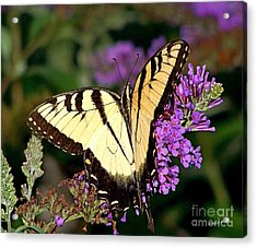 Butterfly Acrylic Print by Timothy Clinch
