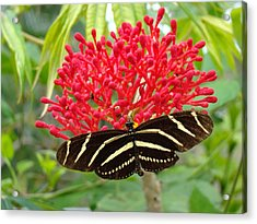 Butterfly With Its Host Acrylic Print