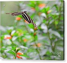 Butterfly Zebra Soars And Floats To Next Orange Flower Acrylic Print by Wayne Nielsen