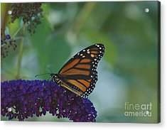 Acrylic Print featuring the photograph Butterflybush by Christopher Mace