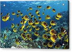 Butterflyfish Chaetodon Lunula, Hawaii Acrylic Print by Bopardau