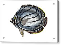 Butterflyfish Acrylic Print by Collection Abecasis