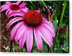 Butterly On Flower Acrylic Print by Claudette Bujold-Poirier