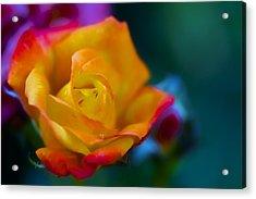 Butterscotch Rose Acrylic Print