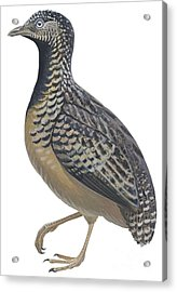 Button Quail Acrylic Print by Anonymous