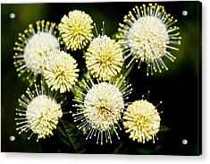 Buttonbush Acrylic Print