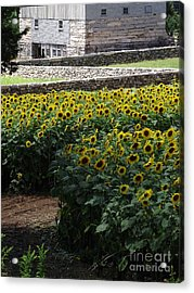Buttonwood Acrylic Print by Michelle Welles