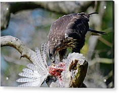 Buzzard Preying On A Bird Carcass Acrylic Print
