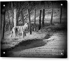 Bw Coyote Acrylic Print