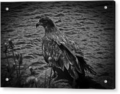 Acrylic Print featuring the photograph Bw Eagle by Timothy Latta