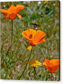 Ca Poppies And Bee  Acrylic Print by Gracia  Molloy