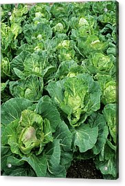Cabbage (brassica 'golden Acre Primo II') Acrylic Print by Geoff Kidd/science Photo Library
