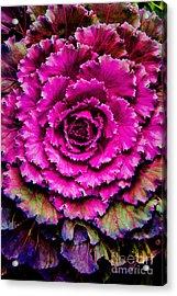 Cabbage Acrylic Print by Jon Burch Photography