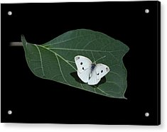 Cabbage White Butterfly Acrylic Print by Angie Vogel