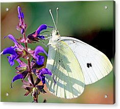 Cabbage White Butterfly Acrylic Print by Brian Magnier