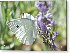 Cabbage White On Lavender  Acrylic Print