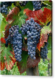 5b6374-cabernet Sauvignon Grapes At Harvest Acrylic Print