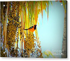 Cabo Oriole Acrylic Print