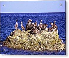 Cabo Pelicans Acrylic Print by John Wartman