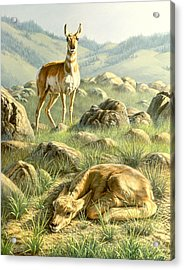 Cached Treasure - Pronghorn Acrylic Print