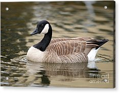 Cackling Goose Acrylic Print