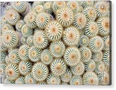 Cactus 35 Acrylic Print