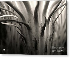 Cactus Bloom In Sepia Acrylic Print