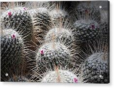 Cactus Bloom Acrylic Print