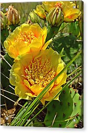 Cactus Bloom Acrylic Print