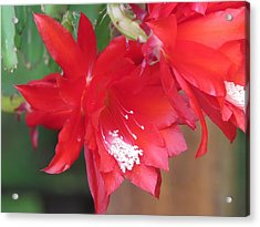 Cactus Blooming Acrylic Print by Diane Mitchell