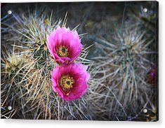 Cactus Blossoms Acrylic Print