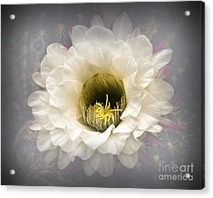Cactus Bloom Acrylic Print by Arne Hansen