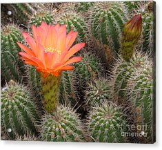 Acrylic Print featuring the photograph Cactus Flower by Cheryl Del Toro