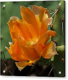 Cactus Flower In Orange Acrylic Print by Toma Caul