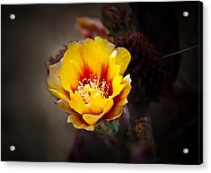 Cactus Flower Acrylic Print by Swift Family
