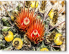 Cactus Flowers And Fruit Acrylic Print