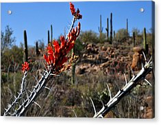 Acrylic Print featuring the photograph Cactus Flowers by Diane Lent