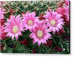 Cactus Mammillaria Zeilmanniana 'new Dawn' Acrylic Print by Nigel Downer/science Photo Library