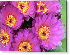 Cactus Notocactus Uebelmannianus Acrylic Print by Nigel Downer/science Photo Library