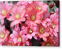 Cactus Rebutia Albiflora Acrylic Print by Nigel Downer/science Photo Library