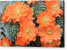 Cactus Rebutia Tamboensis Acrylic Print by Nigel Downer/science Photo Library